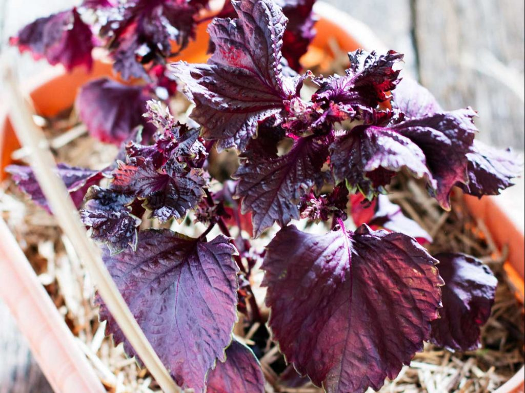 Red/purple shiso plants in a small gardening pot