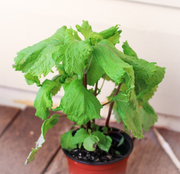 Shiso plant in a small gardening pot