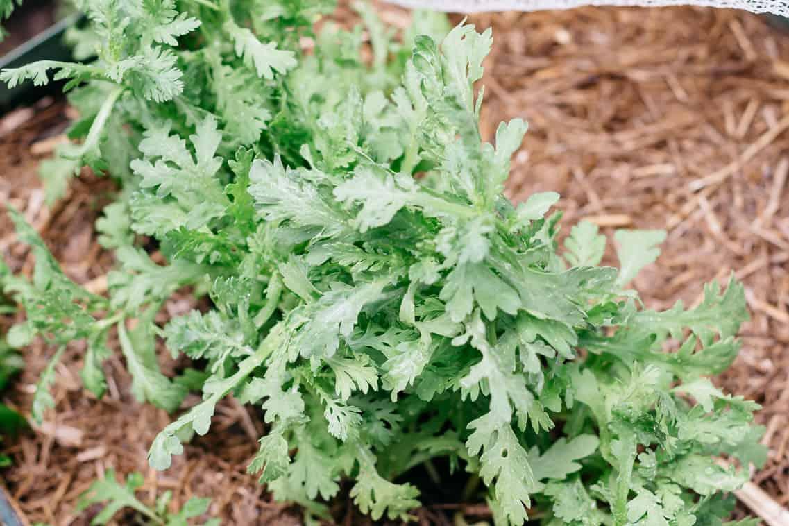 Shungiku growing in my backyard